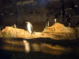 Penguins Line the Rocks in their Habitat at the Pittsburgh Zoo, Pennsylvania Photographic Print by Stacy Gold