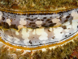 Oyster with Shell Open to Reveal Mantle and Row of Eyes, Malapascua Island, Philippines Photographic Print by Tim Laman