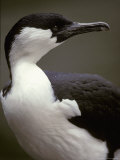 Portrait of a Black-Faced Shag's Hooked Bill and Green Eye, Australia Photographic Print by Jason Edwards