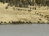 Migrating Herd of Impalas Drinking During Drought Photographic Print by Jason Edwards