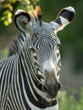 Plains Zebra from the Sedgwick County Zoo, Kansas Photographic Print by Joel Sartore