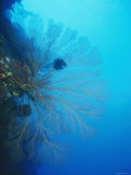 Large Yellow Gorgonian Coral with Feather Star with Reef, Blue Water, Lau islands, Fiji Photographic Print by James Forte