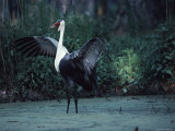 Portrait of a Wattled Crane in a Marsh with It's Wings Spread Photographic Print by Ira Block