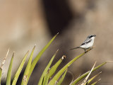 Loggerhead Shrike at Cottonwood Springs, Joshua Tree National Park, California Papier Photo par Rich Reid