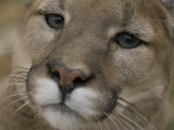 Mountain Lion, or Puma at the Rolling Hills Zoo Photographic Print by Joel Sartore