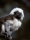 Portrait of a Cotton-Top Tamarin, and Detail of Fur Coat and Face, Melbourne Zoo, Australia Photographic Print by Jason Edwards