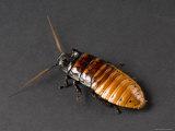 Madagascar Hissing Cockroach, Lincoln, Nebraska Photographic Print by Joel Sartore
