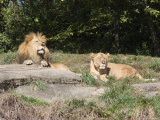 Pair of Lions in the Pittsburgh Zoo, Pennsylvania Photographic Print by Stacy Gold