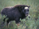 Musk Ox Calf Portrait, Alaska Photographic Print by Rich Reid