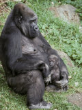 Relaxed Western Lowland Gorilla Mother Tenderly Nursing Her Infant, Melbourne Zoo, Australia Fotografisk trykk av Jason Edwards