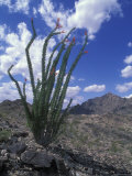 Ocotillo Cactus in Bloom Photographic Print by Rich Reid