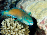 Parrotfish with Coral, Takapoto Atoll, French Polynesia Fotografisk tryk af Tim Laman