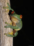Red Eyed Tree Frog, Litoria Chloris, Clinging Vertically to a Branch, Australia Photographic Print by Jason Edwards
