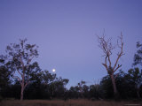 Moonrise over Queenslands Ghost Gum Eucalypts and Outback Scrub Trees, Australia Photographic Print by Jason Edwards
