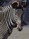 Portrait of a Zebra in the San Diego Zoo, California Photographic Print by Kenneth Garrett