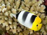 Pacific Double-Saddle Butterflyfish, Takapoto Atoll, French Polynesia Fotografisk tryk af Tim Laman
