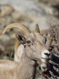 Peninsular Bighorn Sheep, California Photographic Print by Rich Reid