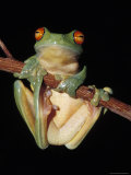 Red Eyed Tree Frog, Litoria Chloris, Clinging to a Branch, Australia Lámina fotográfica por Jason Edwards