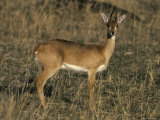 Profile of an Oribi with Ears and Eyes Alert at Sunset Photographic Print by Jason Edwards