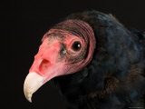 Portrait of a Turkey Vulture, Lincoln, Nebraska Photographic Print by Joel Sartore