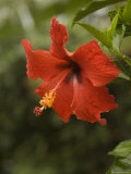 Red Hibiscus Flower, Hawaii Fotoprint van Bill Hatcher