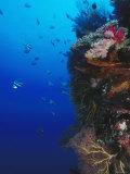 Moorish Idol Fish Swimming Next Colorful Coral Reef, Lau islands, Fiji Fotografisk tryk af James Forte