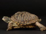 Ornate Box Turtles at the Sunset Zoo Photographic Print by Joel Sartore