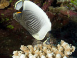 Reticulated Butterflyfish, Takapoto Atoll, French Polynesia Photographic Print by Tim Laman