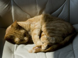 Orange Tabby Cat Sleeping on a Chair in the Sun, Groton, Connecticut Photographic Print by Todd Gipstein