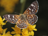 Mormon Metal Mark Butterfly Feeding on Nectar Photographic Print by George Grall