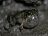 Rockhole Frog, Litoria Meiriana, Calling with Inflated Throat Pouch, Australia Photographic Print by Jason Edwards