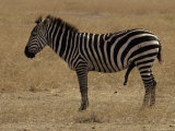 Profile of a Zebra with Penis Erect and Aroused, in Savannah Grassland Photographic Print by Jason Edwards