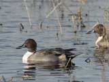 Northern Pintails in a Marsh Photographic Print by George Grall