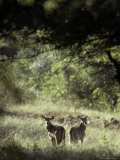 Nilgai Fawns Alert at Dawn in a Sunlit Forest Clearing Photographic Print by Jason Edwards