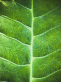 Large Tropical Green Leaf with Veins Pattern Close-Up, Belize Photographic Print by James Forte