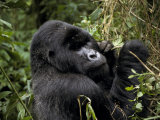 Male Silverback Mountain Gorilla Feeding in a Tropical Rainforest Photographic Print by Jason Edwards