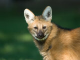 Maned Wolf at the Sunset Zoo Photographic Print by Joel Sartore