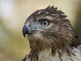 Red-Tailed Hawk in Lincoln, Nebraska Stampa fotografica di Sartore, Joel