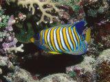 Regal Angelfish in Coral Reef, Pygoplites Diacanthus, Lau islands, Fiji Fotografisk tryk af James Forte