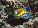 Regal Angelfish in Coral Reef, Pygoplites Diacanthus, Lau islands, Fiji Fotografie-Druck von James Forte