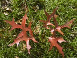 Red Oak Leaves in the Green Grass, New York Photographic Print by Stacy Gold