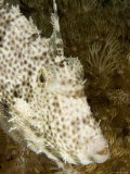 Radial Leatherjacket Filefish, Malapascua Island, Philippines Photographic Print by Tim Laman