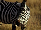 Portrait of a Striped Zebra on a Grassland Plain at Sunset Photographic Print by Jason Edwards