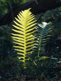 Lime Green New Growth Fern Fronds on the Forest Floor, Australia Photographic Print by Jason Edwards