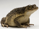 Puerto Rican Crested Toad, Sedgwick County Zoo, Kansas Photographic Print by Joel Sartore