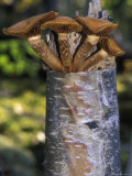 Mushroom Growing from a Birch Tree, Alaska Photographic Print by Rich Reid
