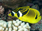 Racoon Butterflyfish, Takapoto Atoll, French Polynesia Photographic Print by Tim Laman
