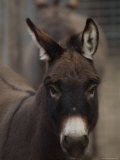 Miniature Donkey at the Riverside Zoo Photographic Print by Joel Sartore