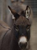 Miniature Donkey at the Riverside Zoo Lámina fotográfica por Sartore, Joel