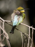 Male Rainbow Bee Eater with its Feathers Fluffed Up for Warmth, Australia Photographic Print by Jason Edwards